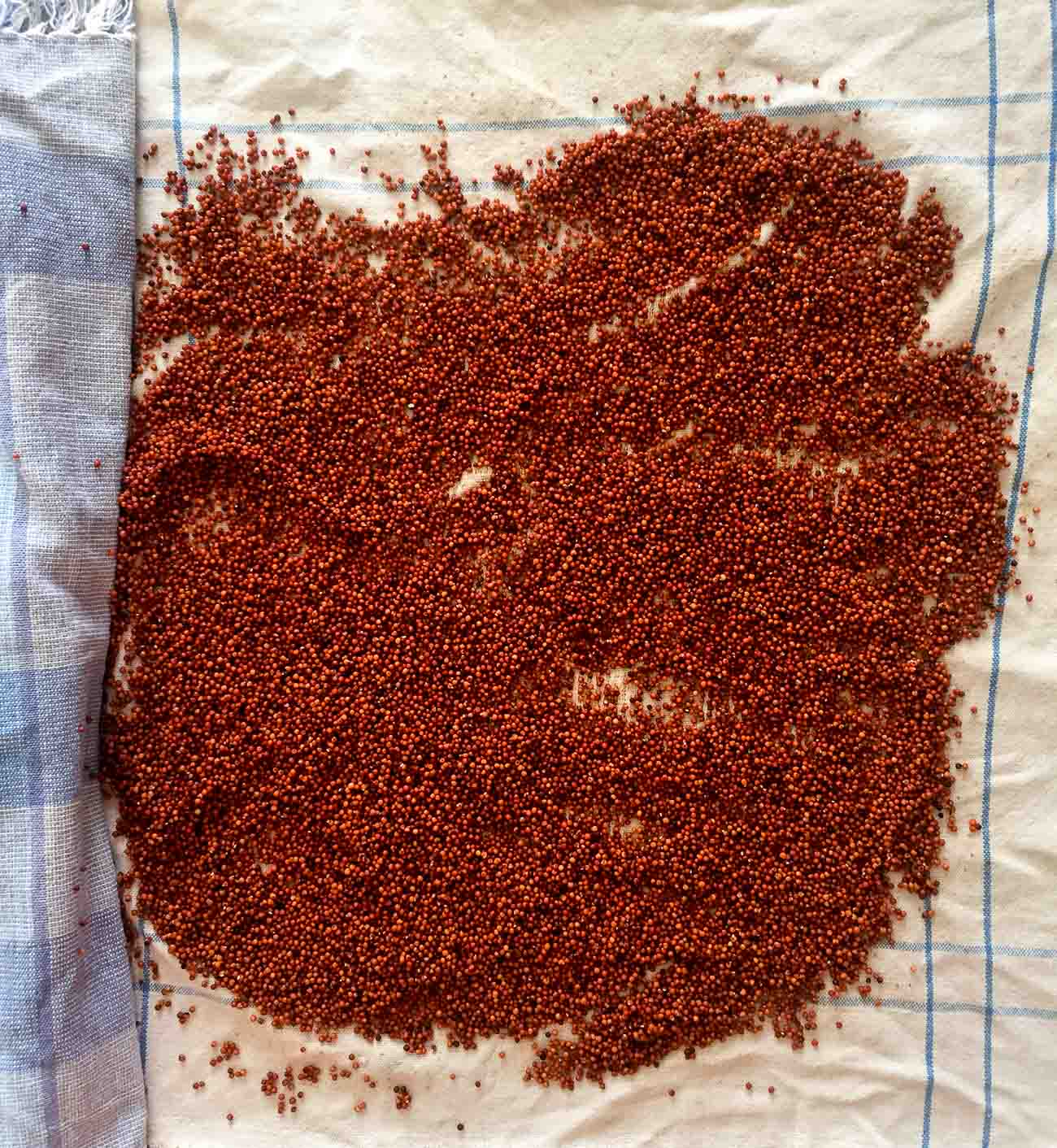 How to sprout ragi 1